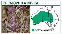 Eremophila nivea
