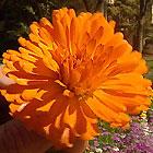 marigold2_36