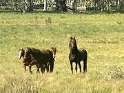 horsecull2_42