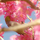 New Flowering Cherries