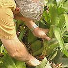 Dividing Bromeliads