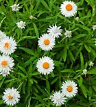 everlasting daisy how to grow