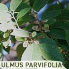 102003-IPB-Ulmus-parvifolia