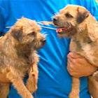 112003-Border-terriers04