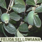132003_IPB_Feijoa_sellowian