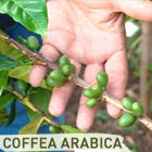 132003_IPB_coffea_arabica