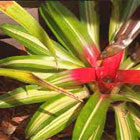 Plant of the Week – Bromeliads