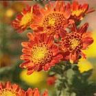 chrysanths2