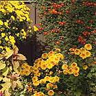 chrysanths5