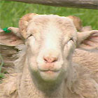Wiltipoll Sheep