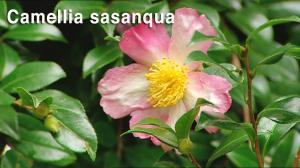 Sasanqua camellias text