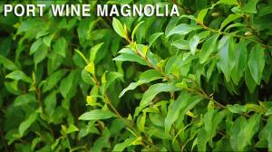 port wine magnolia