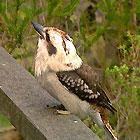 kookaburra2_25
