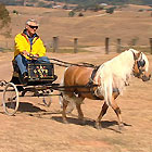Australian Miniature Ponies