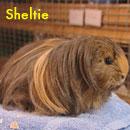 sheltie_3