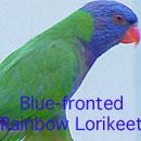 Blue-fronted Rainbow Lorikeet