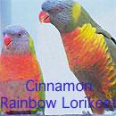 Cinnamon Rainbow Lorikeet