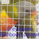 Grey-Green Rainbow Lorikeet