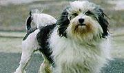 Lowchen Breeders Queensland Lowchen Dogs
