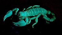 A large scorpion under a UV light
