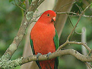 King Parrots in Backyard