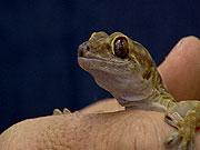 Sticky Feet of the Gecko