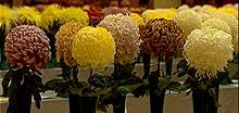 chrysanths_14