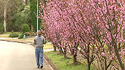 Prunus x blireana