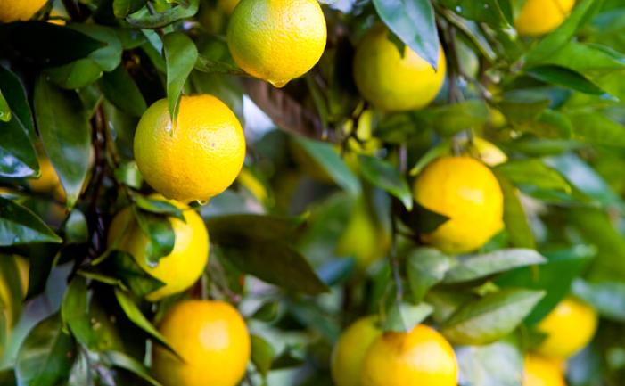 Best backyard citrus burke 39 s backyard for Lemon plant images