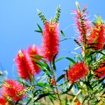 Red callistemon