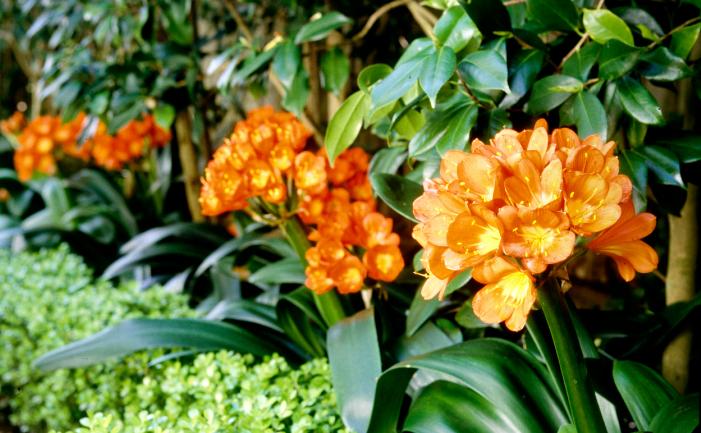 Clivia plants