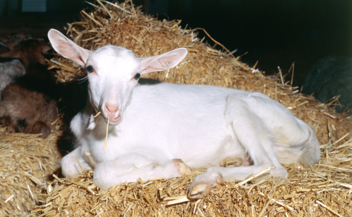 Saanen Goat