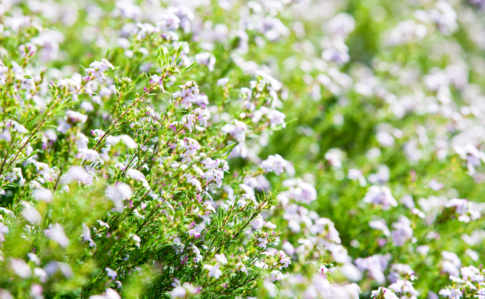 Flowering Diosma
