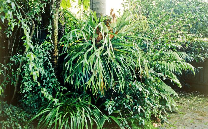 Dividing an elkhorn burke 39 s backyard for Plants to grow in garden