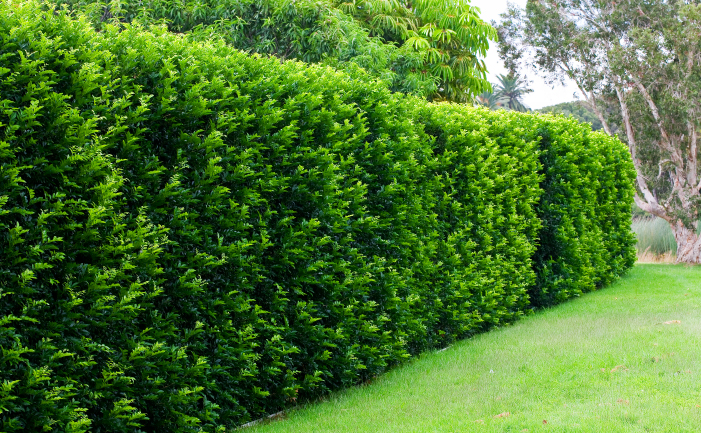 How to Grow a Hedge