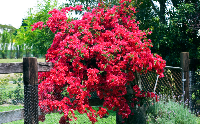 How to Keep a Bougainvillea Flowering