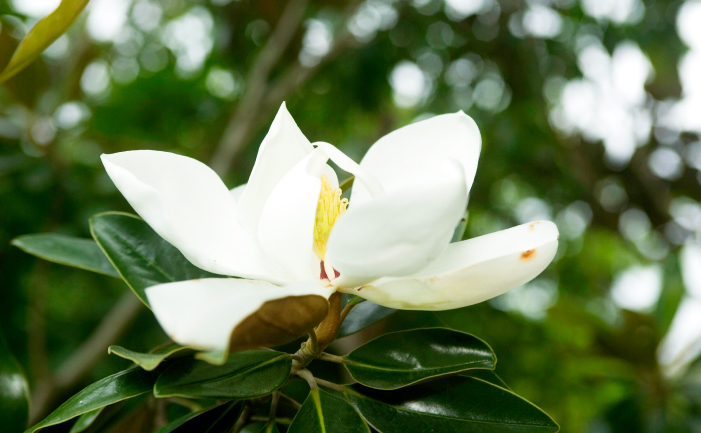 Don's Tips: Magnolias