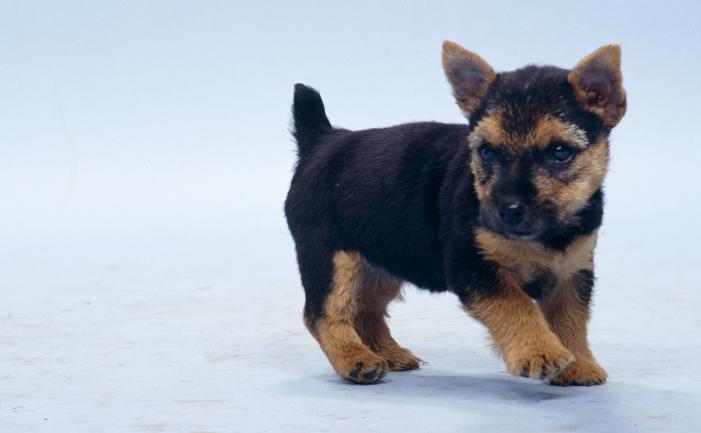 Black Wheaten Terrier Norwich Terrier - Burk...