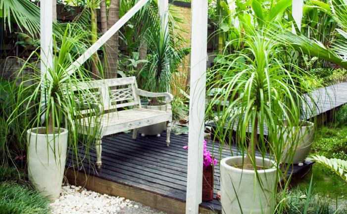 Ponytail Plants