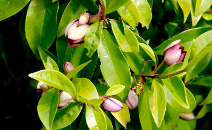 Port Wine Magnolia leaves and flower buds