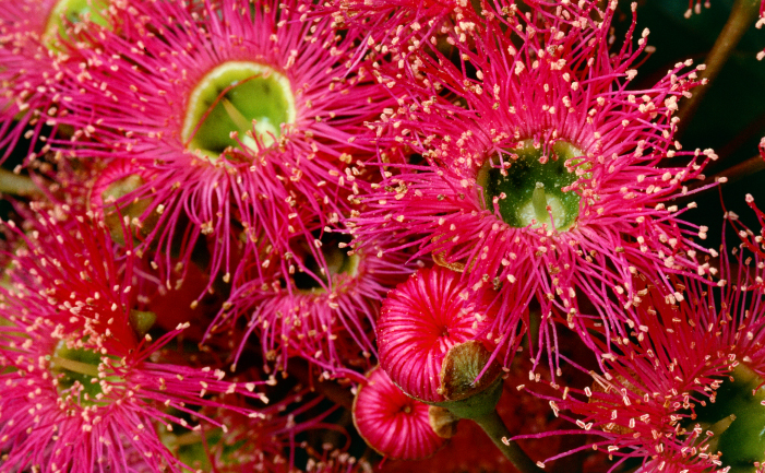 Red-flowering Gums