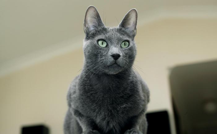 Cat Russian Blue For Sale Uk