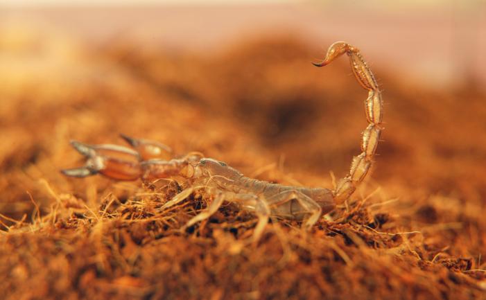 Scorpion on dirt