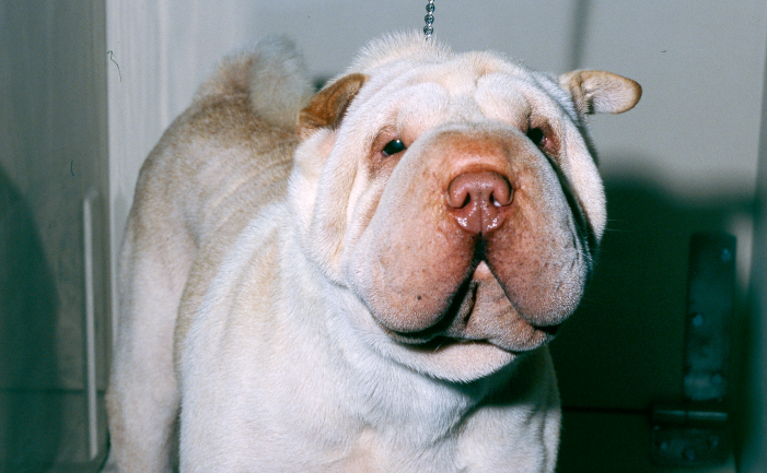 Shar Pei Dog Breed Burke S Backyard