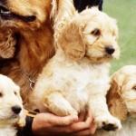 Spoodle pups