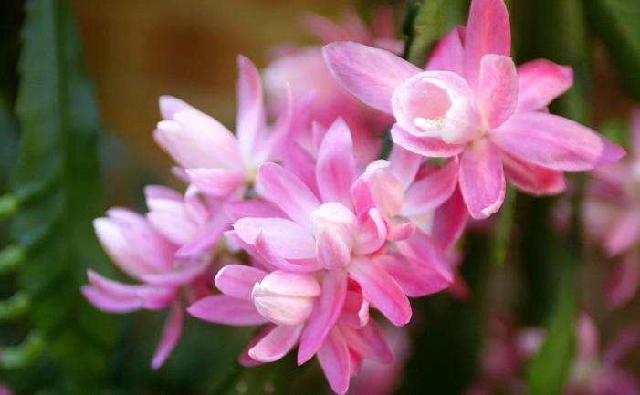 Zygocactus flowers