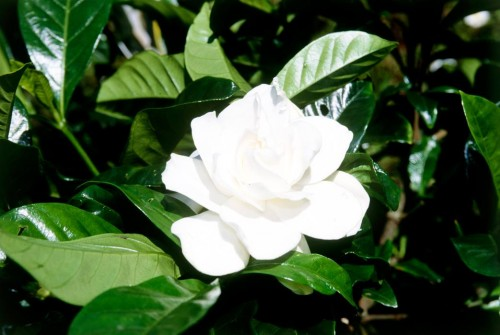 Don's Tips: Gardenias