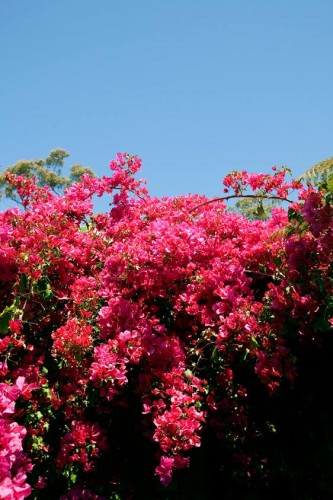 Don's Tips: Bougainvilleas