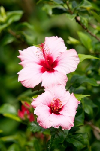 Don's Tips: Hibiscus