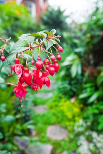 Don's Tips: Fuchsias